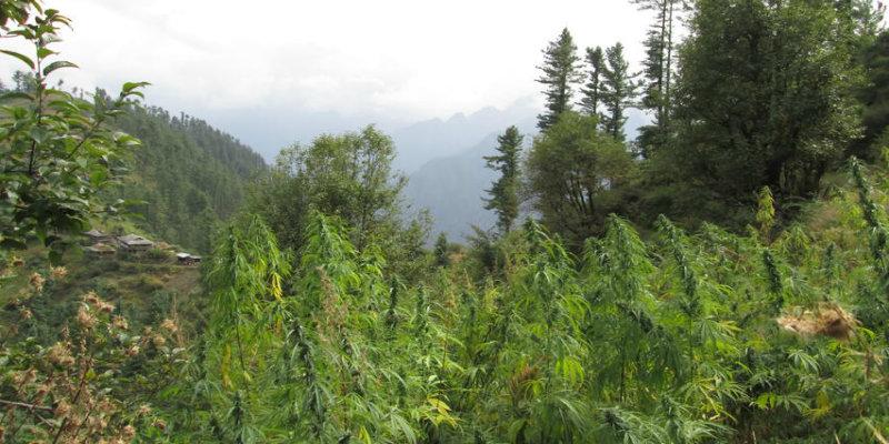 Cannabis en Inde