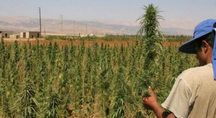 Cannabis au Liban