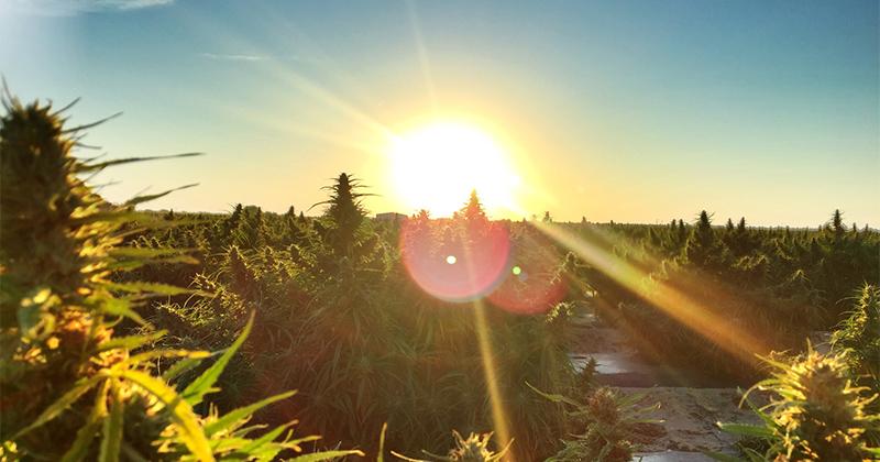 Américains pour la légalisation du cannabis