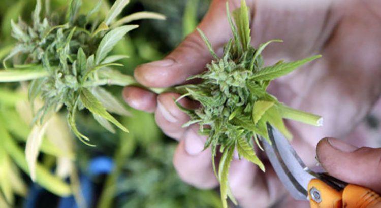 Cultivateur de cannabis en Californie
