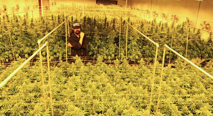 Damian Marley dans sa plantation de cannabis