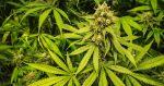 Terra Nova préconise de légaliser le cannabis sur le modèle des jeux en ligne
