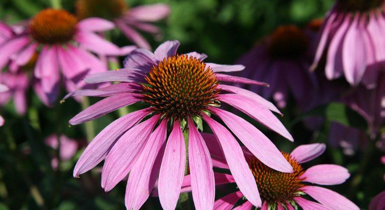 Plantes contenant des cannabinoïdes