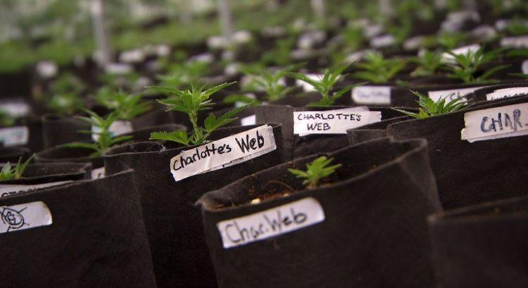 Des variétés de cannabis avec peu de THC