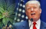 Donald Trump et l'avenir du cannabis légal