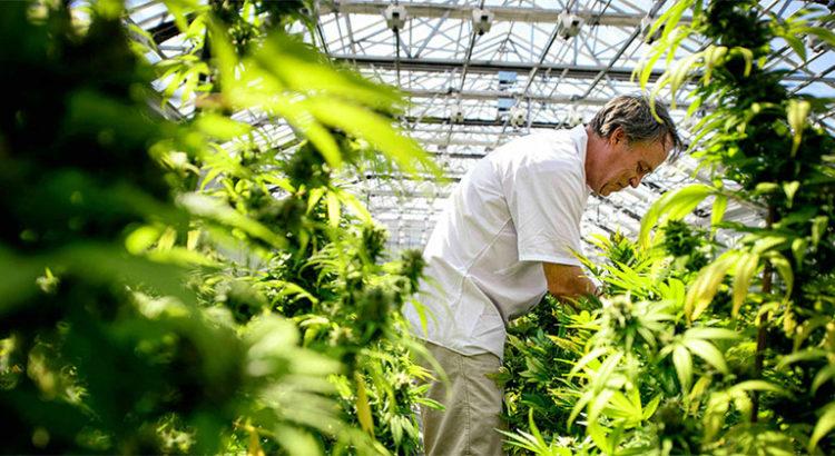 Légalisation du cannabis médical en Afrique du Sud