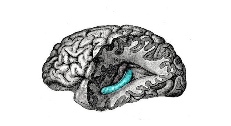Cannabis et neurogénèse