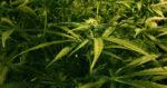 Royaume-Uni : la légalisation du cannabis est la «seule solution aux problèmes de criminalité et de toxicomanie»