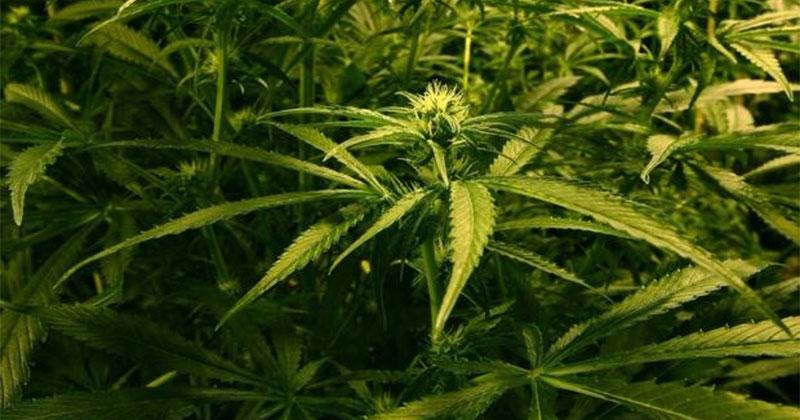 Le Royaume-Uni appelle à la légalisation du cannabis