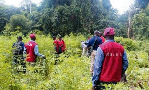 Cannabis Nigéria