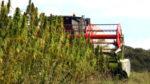 Au Kentucky, la culture du chanvre rattrape doucement celle du tabac