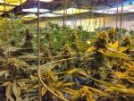 Le Colorado envoie ses experts du cannabis pour aider le Massachusetts