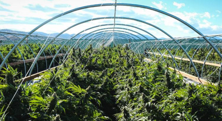 La production de cannabis dépasse la demande