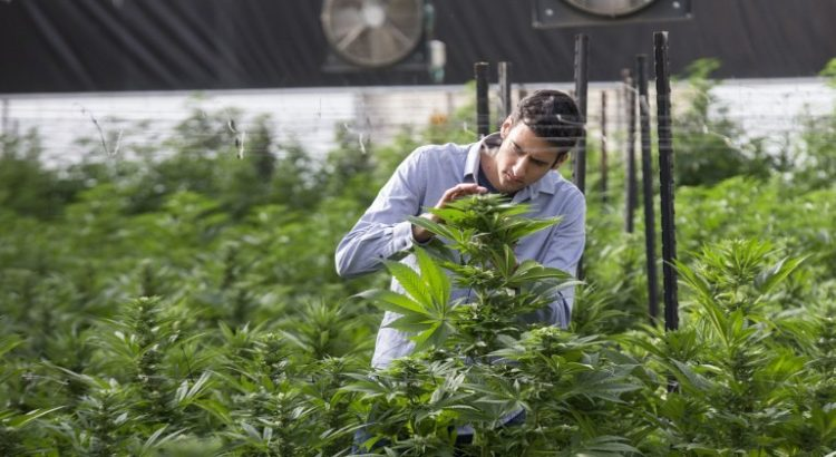 Recherches cannabis Israêl