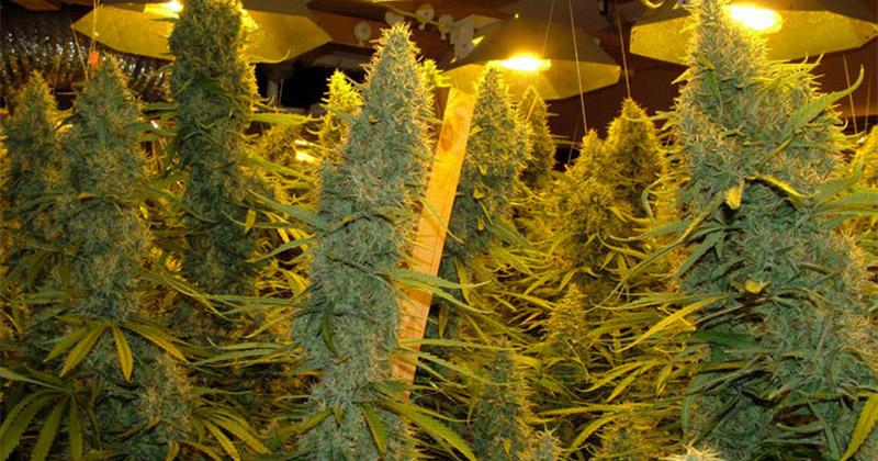 Marijuana Hydroponic System Canada Marijuana Training