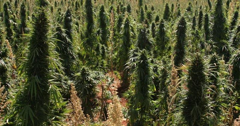 Pays qui consomme le plus de cannabis