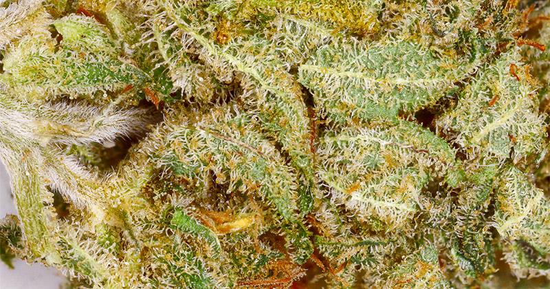Variétés de cannabis contre la douleur