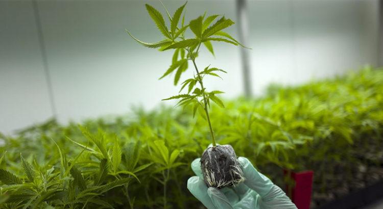 L'Australie manque de cannabis médical