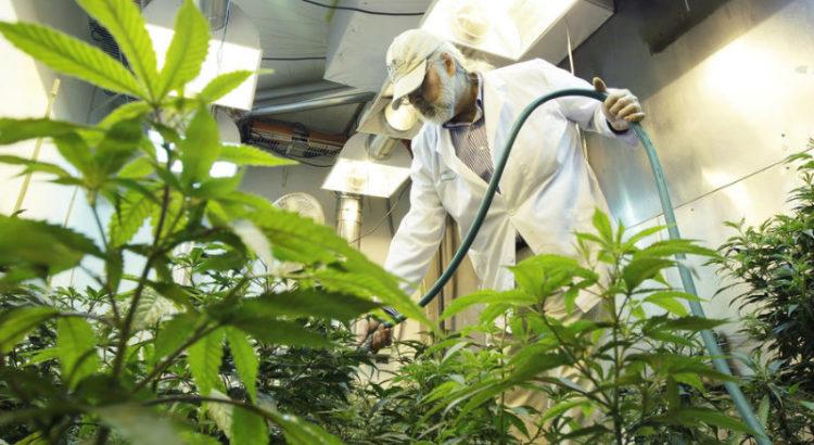 Pesticides dans la weed californienne