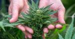 Comment le cannabis a fait consensus en Israël ?
