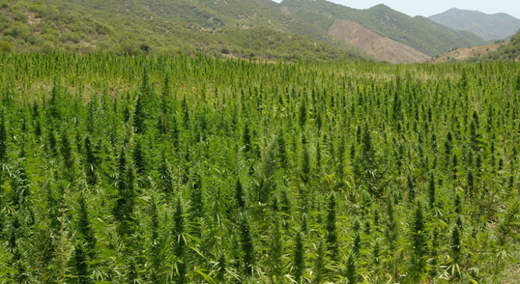 Plus gros producteurs de cannabis
