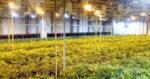 Les entrepreneurs suisses à l'assaut du cannabis légal
