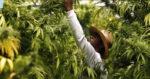 La Zambie légalise la culture à domicile de cannabis médical
