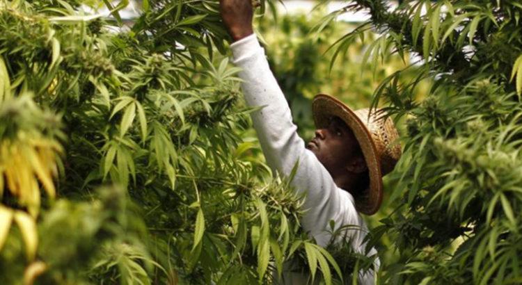 Cannabis médical en Zambie