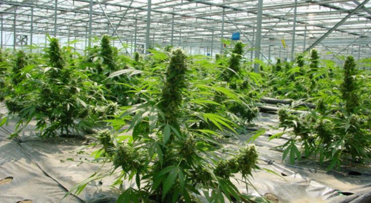 L'Allemagne prévoit de produire deux tonnes de cannabis par an