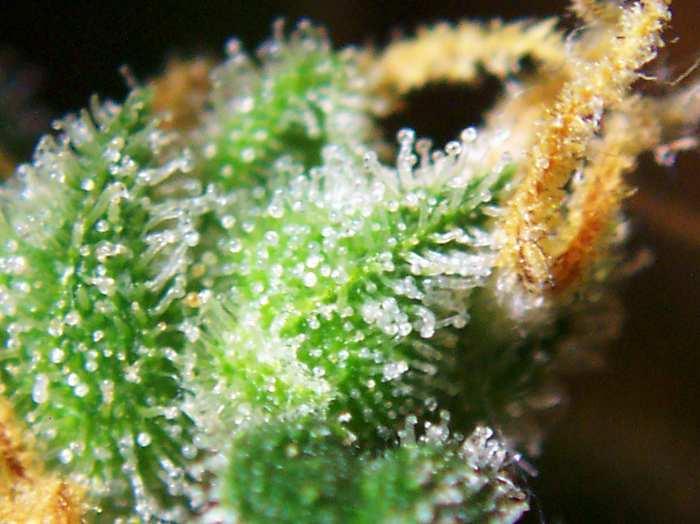 Pourquoi le cannabis produit il du THC