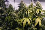 Belgique : Un élu communal de droite veut former un Cannabis Social Club