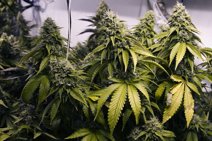 Un élu communal belge de droite veut former un cannabis social club
