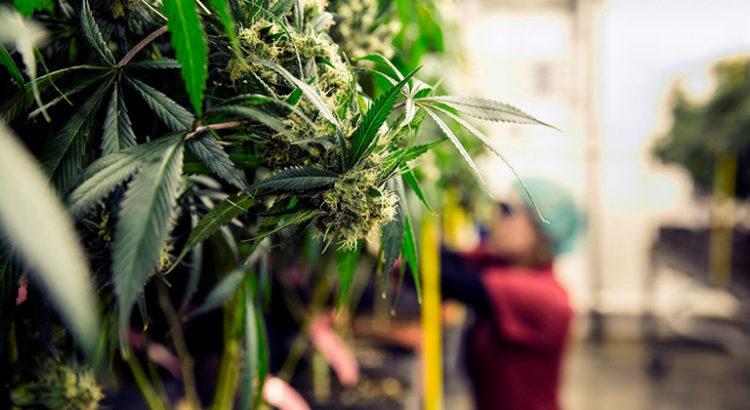 Dépénalisation du cannabis en République Tchèque