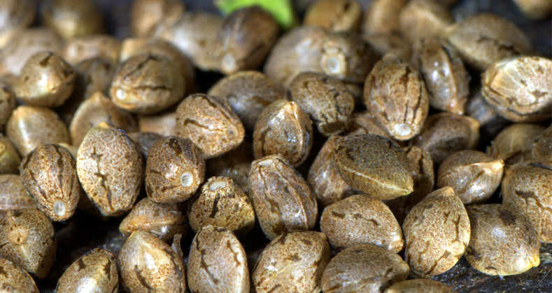 Graines de cannabis pas chères