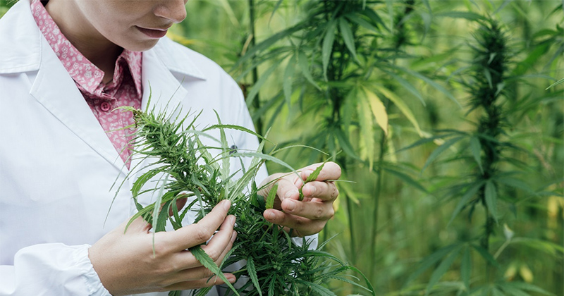 centre de recherche sur le cannabis en Israël