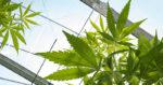 E. Macron au 2nd tour : «en marche» pour une réforme des lois sur le cannabis