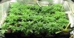 Belgique : Les Cannabis Social Clubs de nouveau attaqués