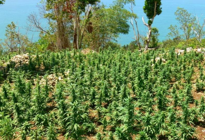Le marché Jamaïcain du cannabis médical ne profite qu'aux riches