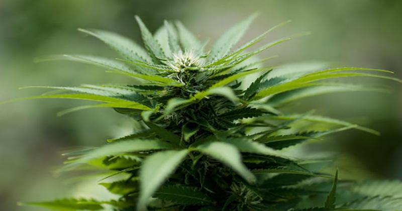Cannabis en Slovénie