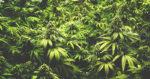 Espagne : proposition de résolution de légalisation du cannabis