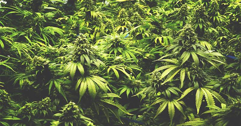 Légalisation du cannabis en Espagne