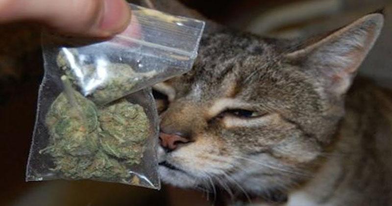 Aude Des chats empoisonnés au cannabis. Vraiment ?