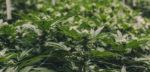 Canada : d'immenses plantations de cannabis en prévision