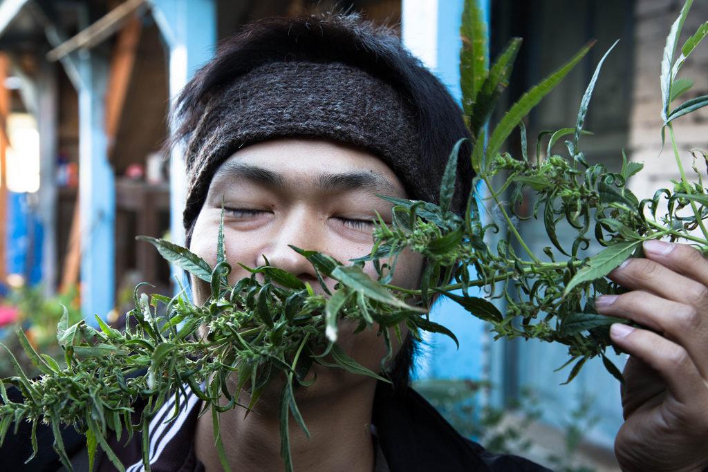 Cannabis népalais