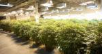 Etats-Unis : L'impact économique du marché du cannabis pourrait atteindre 70 milliards de dollars d'ici 2021