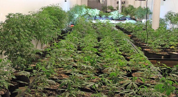 L'Espagne le nouveau moteur du cannabis en Europe?