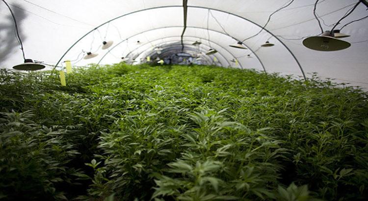 La Nouvelle Zélande songe t-elle à légaliser le cannabis?