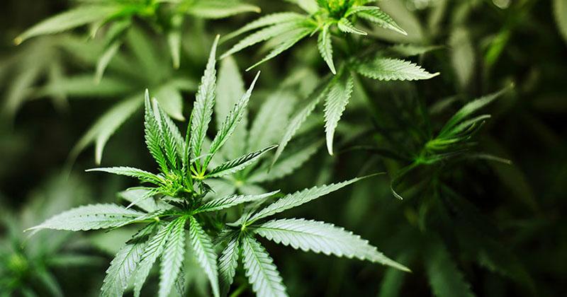 Une étude affirme que les cannabinoïdes est efficace pour les patients atteints de leucémie
