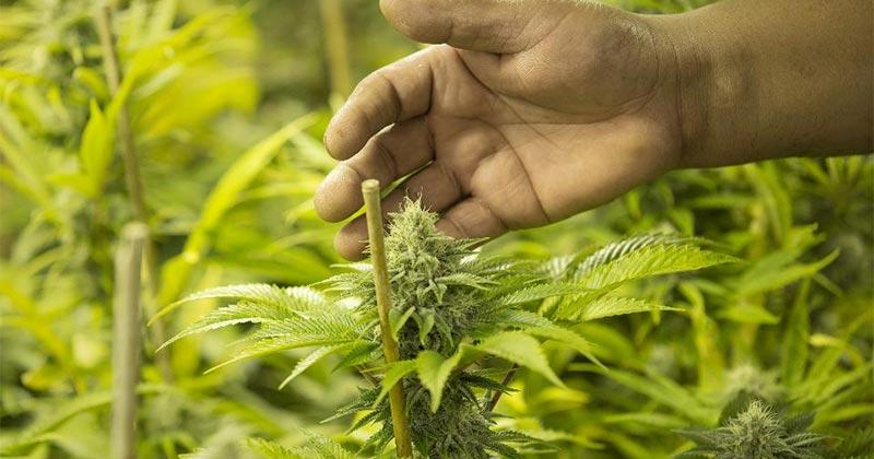 Cannabis médical pour les règles