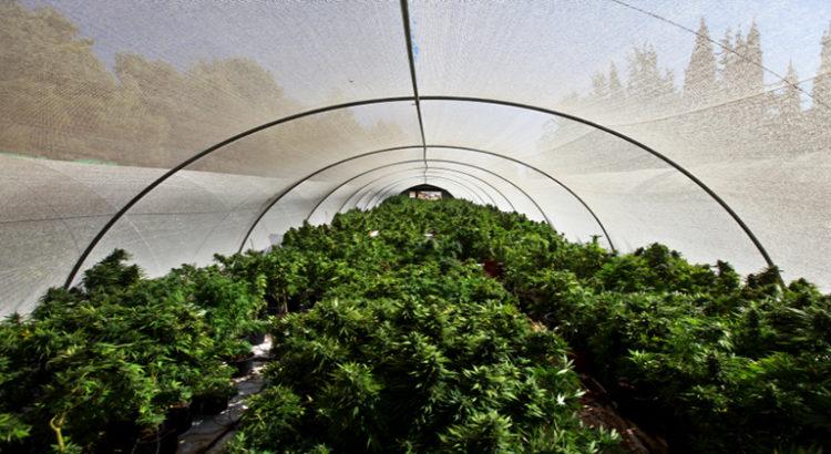 premiere culture de cannabis en australie
